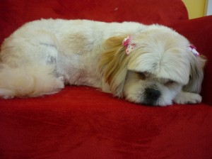 "'Bella""- snoozing after a hard day at the salon"